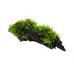 Tropica Vesicularia dubyana 'Christmas' auf Mangrovenholz KLEIN