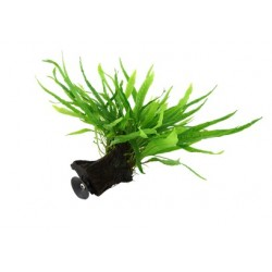 "Tropica Microsorum pteropus ""Narrow"" auf Mangrovenholz mit Saugnapf KLEIN"