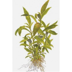 "Tropica 1-2-Grow Hygrophila ""Siamensis 53B"""