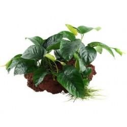 Tropica Anubias barteri sp. auf Lavastein GROSS