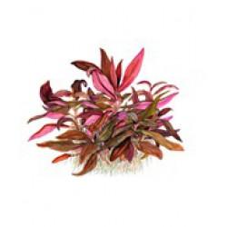 Tropica 1-2-Grow Alternathera reineckii sp. Mini