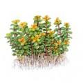 Tropica 1-2-Grow Rotala spec. Bonsai