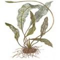 Tropica Aponogeton madagascariensis