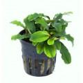 "Tropica Bucephalandra sp. ""Wavy Green"""