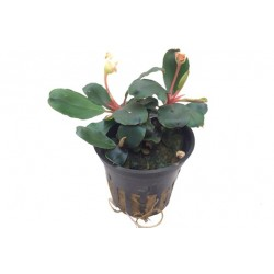 Tropica Bucephalandra spec. RED