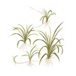 "Tropica 1-2-Grow Helanthium tenellus ""Green"""