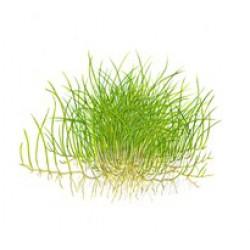 Tropica 1-2-Grow Eleocharis acicularis Mini