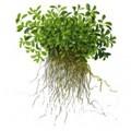 Tropica 1-2-Grow Glossostigma elatinoides