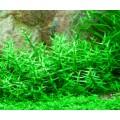 Tropica 1-2-Grow Gratiola viscidula