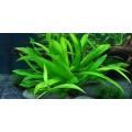 """Tropica 1-2-Grow Helanthium """"Quadricostatus"""""""