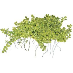 "Tropica 1-2-Grow Hemianthus callitrichoides ""Cuba"""
