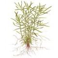 Tropica 1-2-Grow Heteranthera zosterifolia