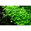 Tropica 1-2-Grow Hydrocotyle tripartita