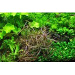 "Tropica 1-2-Grow Hygrophila spec. ""Araguaia"""