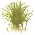 Tropica 1-2-Grow Lilaeopsis brasiliensis