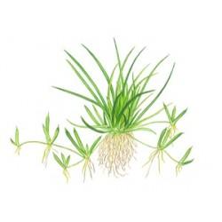 Tropica 1-2-Grow Littorella uniflora