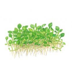 Tropica 1-2-Grow Marsilea crenata