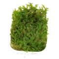 Tropica Monosolenium tenerum