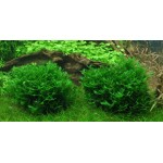 Tropica Monosolenium tenerum auf Lavastein KLEIN