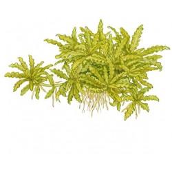 Tropica 1-2-Grow Pogostemon helferi