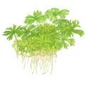 Tropica 1-2-Grow Ranunculus inundatus