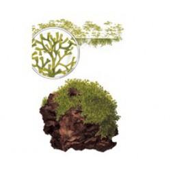 Tropica 1-2-Grow Riccia fluitans