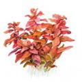 Tropica 1-2-Grow Rotala macrandra