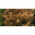 Tropica 1-2-Grow Rotala rotundifolia