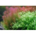 Tropica 1-2-Grow Rotala wallichii