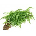 "Tropica Vesicularia ferriei ""Weeping"" Portion"